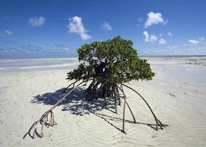 Andros Island Greeting Card featuring the photograph A Lone Mangrove Tree On A Sand Spit by Scott S. Warren
