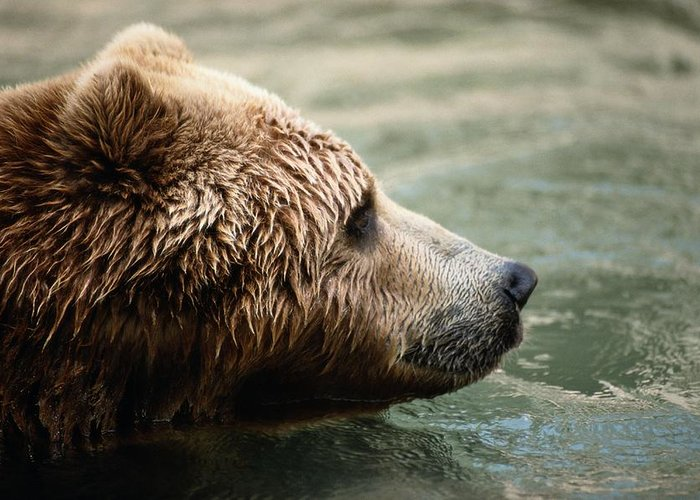 north America Greeting Card featuring the photograph A Side-view Of A Captive Kodiak Bear by Tim Laman