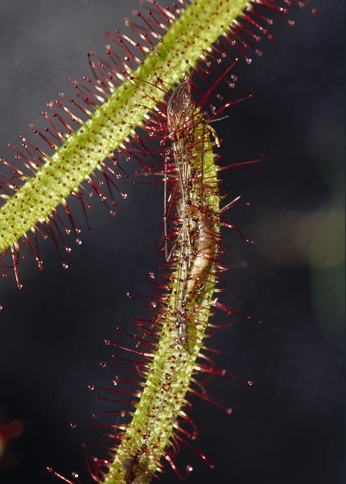 Collectors Corner Greeting Card featuring the photograph A Sundew Carnivourous Plant, Drosera by Jason Edwards