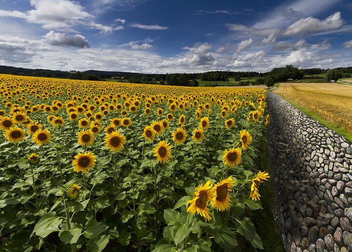 Floral Greeting Card featuring the photograph A Sunny Sunflower Day by Debra and Dave Vanderlaan