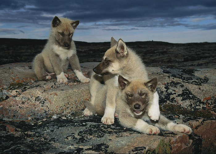North America Greeting Card featuring the photograph A Trio Of Playful Husky Puppies by Paul Nicklen