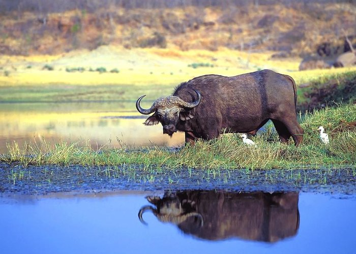 Outdoors Greeting Card featuring the photograph African Cape Buffalo, Photographed At by John Pitcher