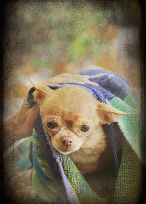 Chihuahua Greeting Card featuring the photograph After The Bath by Laurie Search