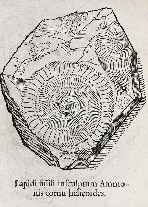Ammonite Greeting Card featuring the photograph Ammonite Fossil, 16th Century by Middle Temple Library