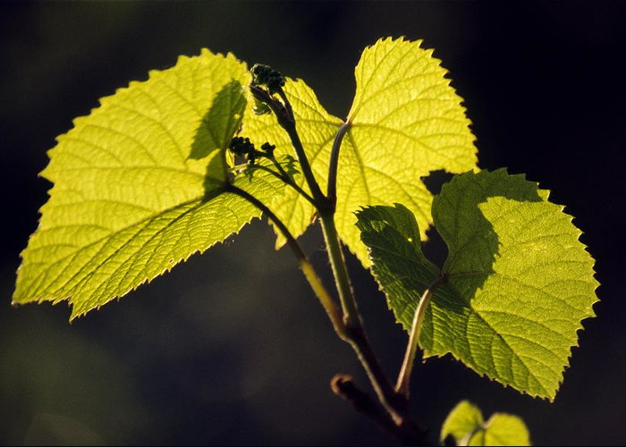 Vitis Amurensis Greeting Card featuring the photograph Amur River Grape Leaves (vitis Amurensis) by Dr. Nick Kurzenko