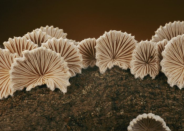 Common Split Gill Mushrooms Greeting Card featuring the photograph An Array Of Common Split Gill Mushrooms by Darlyne A. Murawski