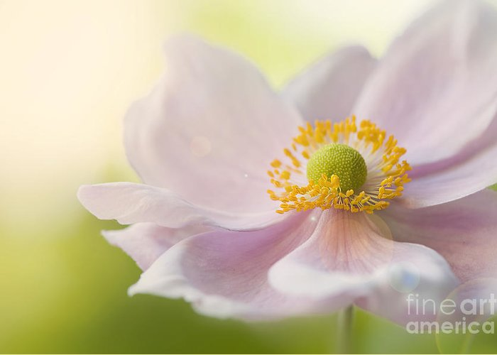 Japanese Greeting Card featuring the photograph Anemone Haze by Jacky Parker