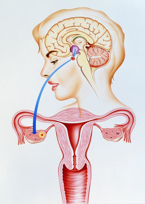 Contraceptive Pill Greeting Card featuring the photograph Artwork Showing Mechanism Of Oral Contraception by John Bavosi