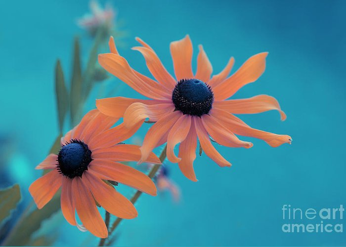 black Eyed Susan Greeting Card featuring the photograph Attachement - S02cz by Variance Collections