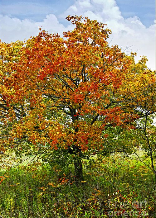 Autumn Greeting Card featuring the photograph Autumn Maple Tree by Elena Elisseeva