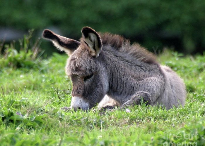 Donkey Greeting Card featuring the photograph Baby Donkey by Deborah Smith