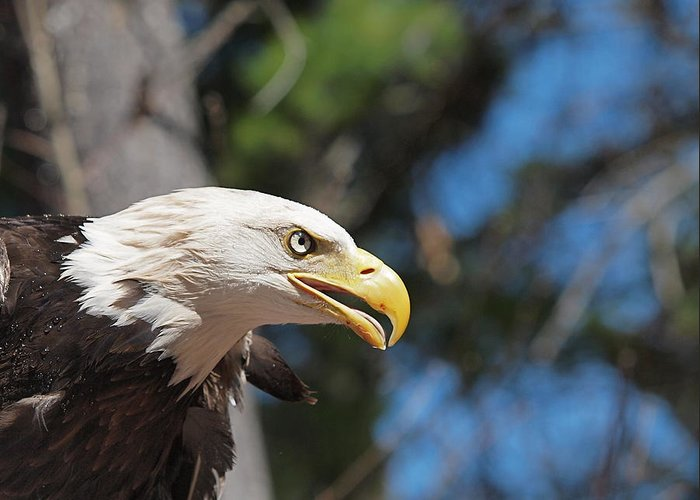 Eagle Greeting Card featuring the photograph Bald Eagle At Mclane Center by Peter Gray