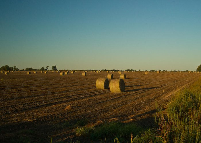 Peanut Greeting Card featuring the photograph Bales In Peanut Field 13 by Douglas Barnett