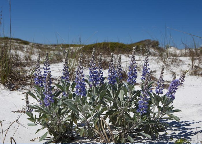 Beach Greeting Card featuring the photograph Beach Flora by Charles Warren