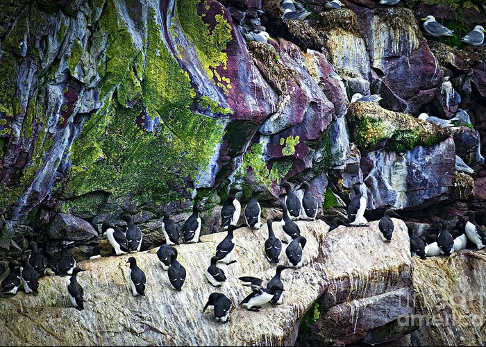 Cape Greeting Card featuring the photograph Birds At Cape St. Mary's Bird Sanctuary In Newfoundland by Elena Elisseeva