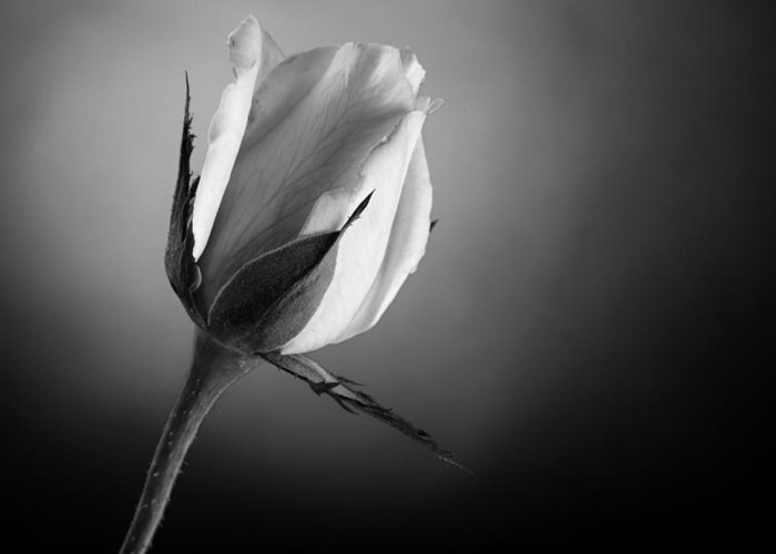 Rose Greeting Card featuring the photograph Black And White Soft Rose by M K Miller