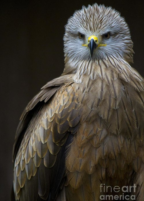 Heiko Greeting Card featuring the photograph Black Kite 2 by Heiko Koehrer-Wagner