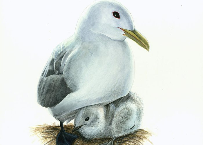 Bird Greeting Card featuring the painting Black-legged Kittiwake Parent And Chick by Logan Parsons