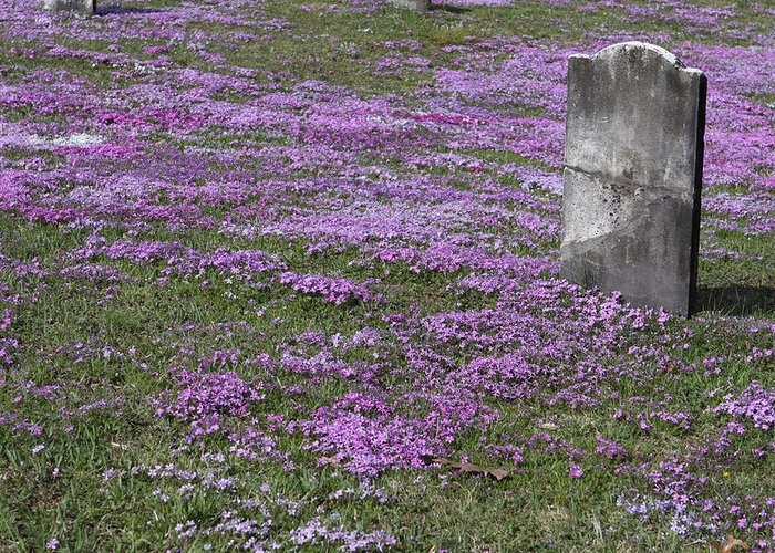 Tombstone Greeting Card featuring the photograph Blank Colonial Tombstone Amidst Graveyard Phlox by John Stephens