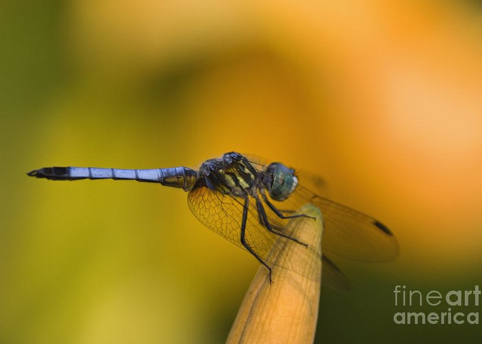 Blue Greeting Card featuring the photograph Blue Dasher - D007665 by Daniel Dempster