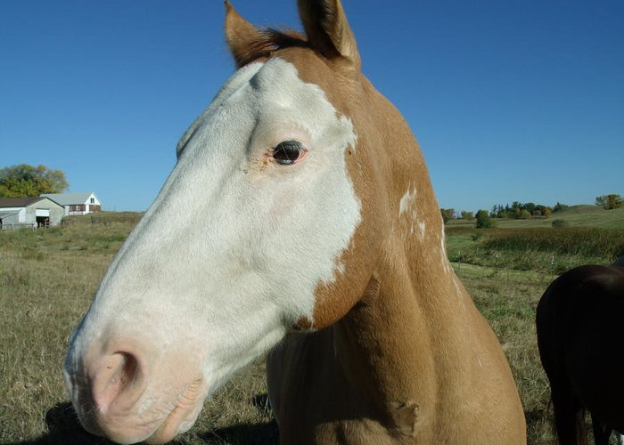 Blue Sky Palomino Greeting Card featuring the photograph Blue Sky Palomino by Brian Maloney