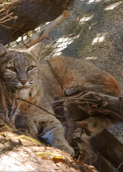 Bobcat Greeting Card featuring the photograph Bobcat by DiDi Higginbotham