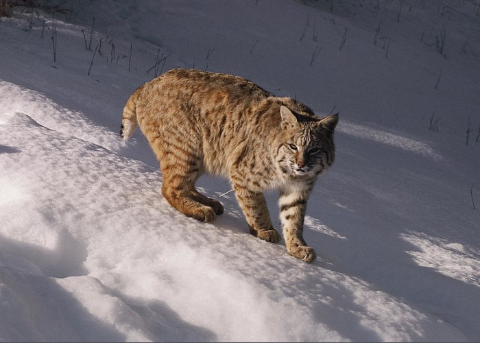 North America Greeting Card featuring the photograph Bobcat Felis Rufus Prowls Over The Snow by Dr. Maurice G. Hornocker