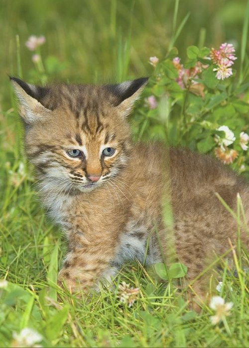 Outdoors Greeting Card featuring the photograph Bobcat Kitten by John Pitcher