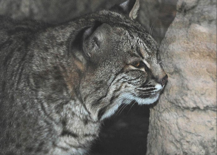Bobcat Greeting Card featuring the photograph Bobcat Love II by DiDi Higginbotham