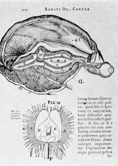 People Greeting Card featuring the photograph Brain And Pineal Gland by Science Source