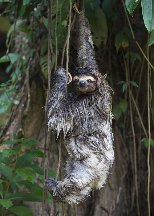 00456319 Greeting Card featuring the photograph Brown Throated Three Toed Sloth Mother by Suzi Eszterhas