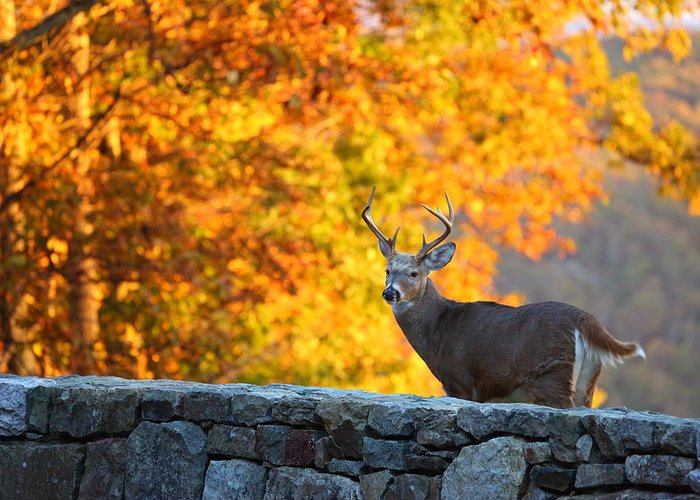 Metro Greeting Card featuring the photograph Buck In The Fall 07 by Metro DC Photography
