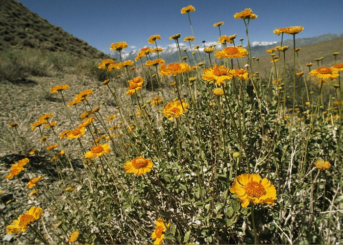 Encelia Actoni Greeting Card featuring the photograph Bush Sunflowers Grow On Arid Slope by Gordon Wiltsie