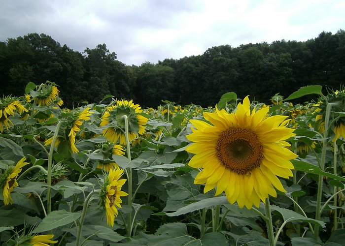 Sunflower Greeting Card featuring the photograph Buttonwoods Sunflowers by Jason Sawicki