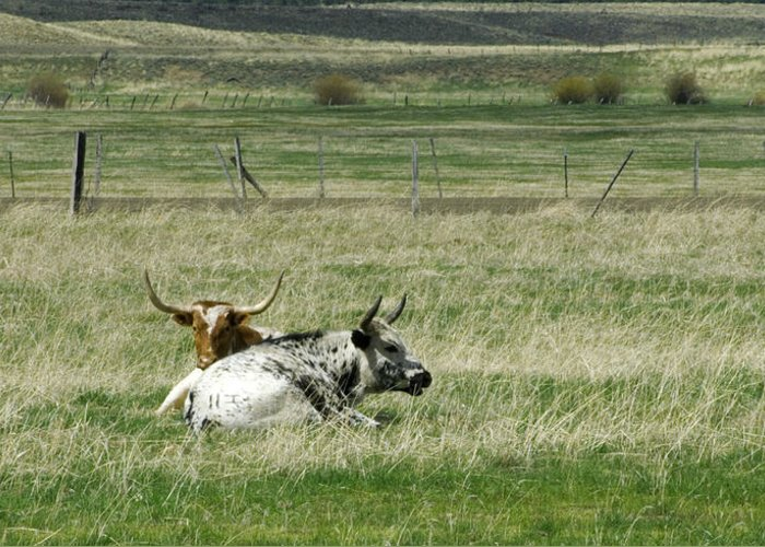 Steer Greeting Card featuring the photograph By The Horns by Sara Stevenson