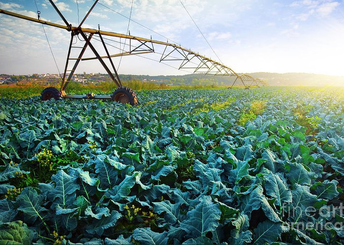 Agriculture Greeting Card featuring the photograph Cabbage Growth by Carlos Caetano
