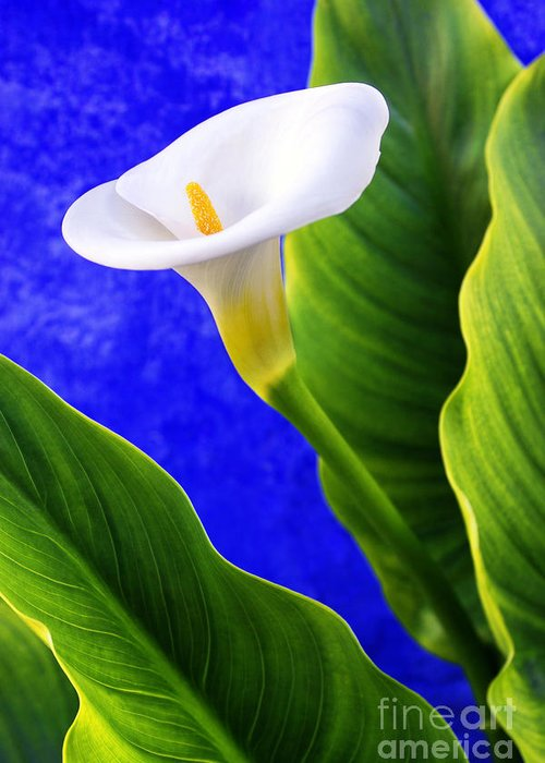 Anniversary Greeting Card featuring the photograph Calla Over Blue by Carlos Caetano