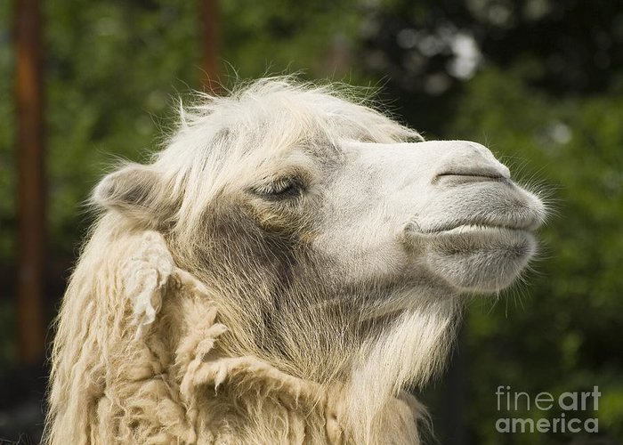 Animal Greeting Card featuring the photograph Camel Portrait by Odon Czintos