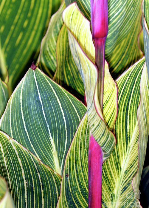 Canna Sp. Greeting Card featuring the photograph Canna Lily Foliage by Dr Keith Wheeler