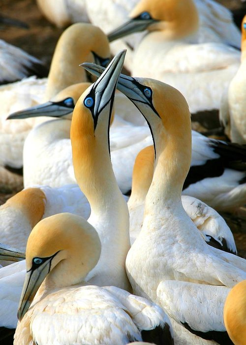 Gannet Greeting Card featuring the photograph Cape Gannet Courtship by Bruce J Robinson