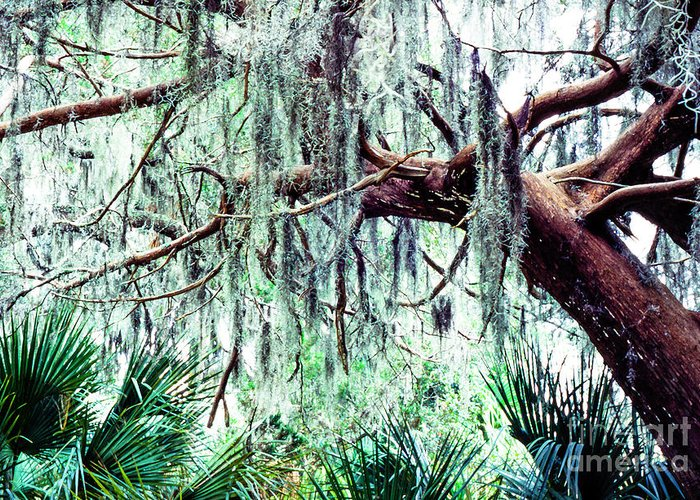 Cedar Tree Greeting Card featuring the photograph Cedar Draped In Spanish Moss by Thomas R Fletcher