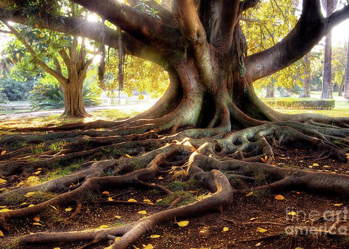 Ancient Greeting Card featuring the photograph Centenarian Tree by Carlos Caetano