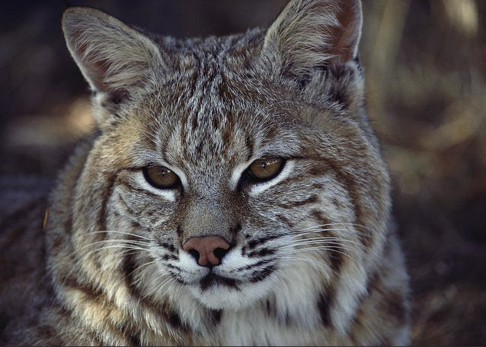 North America Greeting Card featuring the photograph Close-up Of A Bobcat by Dr. Maurice G. Hornocker