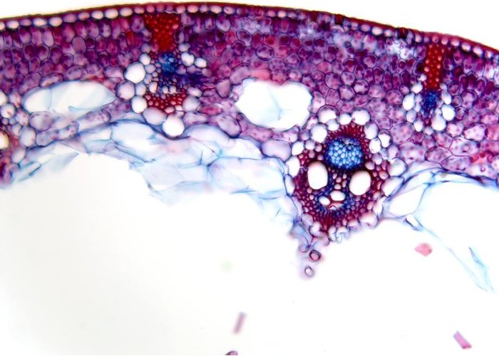 Plant Greeting Card featuring the photograph Common Rush Stem, Light Micrograph by Dr Keith Wheeler