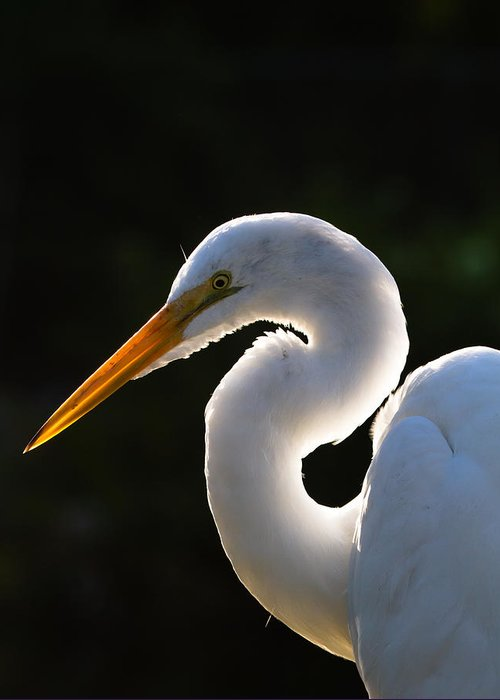Ardea Greeting Card featuring the photograph Contemplative Egret by Andres Leon