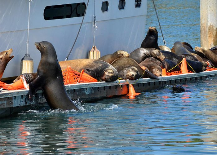 Sea Lions Greeting Card featuring the photograph Crowded Dock by Fraida Gutovich