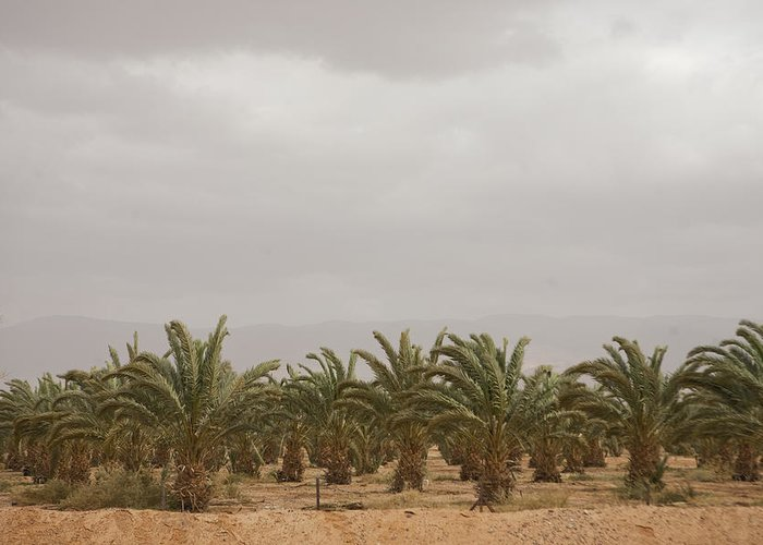 Aqaba Greeting Card featuring the photograph Date Palm Trees In An Orchard by Taylor S. Kennedy