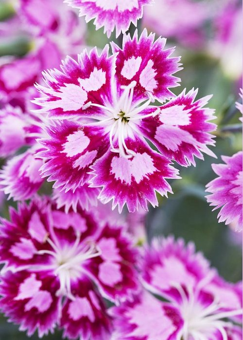 Biological Greeting Card featuring the photograph Dianthus Cranberry Ice Flowers by Jon Stokes
