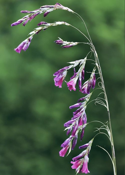 Dierama Pulcherrimum Greeting Card featuring the photograph Dierama Pulcherrimum In Flower by Colin Varndell