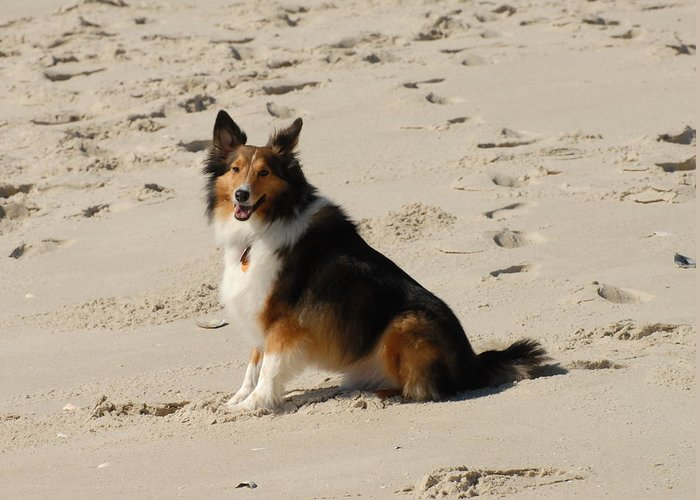 Sheltie Greeting Card featuring the photograph Dog 125 by Joyce StJames